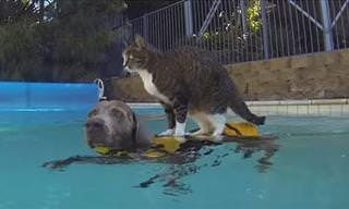 Conoce a Didga. El Gato Mejor Entrenado Del Mundo