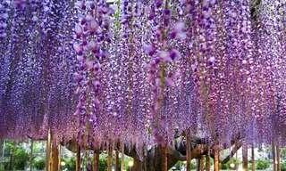 Parque de Las Flores Ashikaga