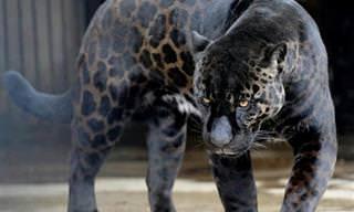 ¿Qué Es El Melanismo? 15 Espectaculares Animales Negros