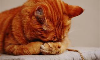 Por Qué Algunos Aceites Esenciales Son Dañinos Para Los Gatos
