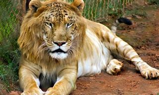 15 Impresionantes Cruzas De Animales Difíciles De Creer