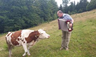 ¿Sabías Que a Las Vacas Les Gusta La Música De Acordeón?