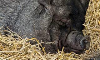 En Este Chiste, Existe Un Cerdo Capaz De Obrar Milagros...