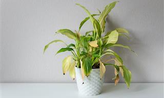 Cómo Revivir Una Planta Moribunda