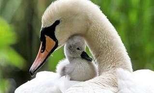El Dulce Instinto Materno De Las Aves…