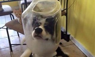 Los Perros Husky Son Conocidos Por Sus Travesuras...