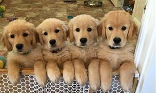 ¿Hay Algo Más Hermoso Que Un Cachorro Golden Retriever?