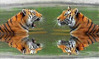 ¿Cuántos Tigres Puedes Ver En Esta Foto?