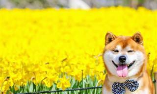 Shiba Inu Entre Las Flores De Hitachi Seaside Park
