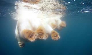 Este Fotógrafo Nada Junto a Un Oso Polar
