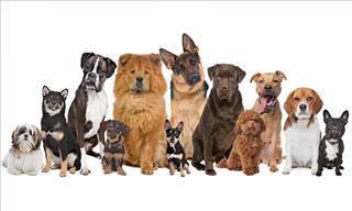 Participa En Este Quiz: ¿Qué Raza De Perro Serías?
