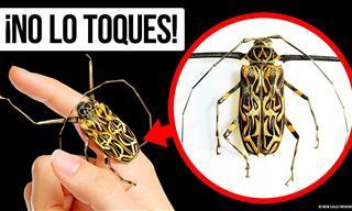 Nunca Toques Este Escarabajo: Podría Ser Peligroso
