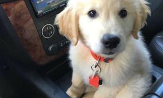 Labradores y Golden Retriever Son Los Perros Más Dulces Del Mundo