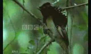 Los Pájaros y Sus Divertidas Danzas de Apareamiento