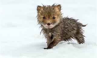 15 Adorables Zorros Jugando En La Nieve