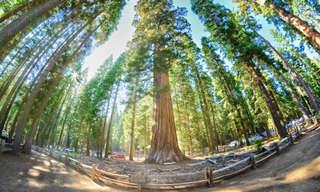 ¡Increíbles Fotografías De Sequoias Gigantes!