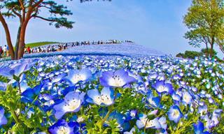 Un Deslumbrante Mar De Flores Azules En Japón