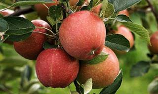 Comer Una Manzana Al Día Alarga La Vida