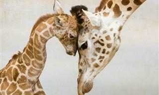 El Amor Nunca Se Acaba En El Reino Animal
