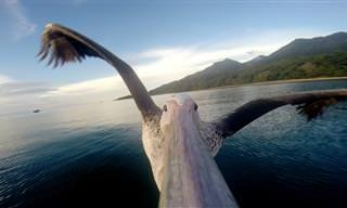 Este Pelícano Tuvo Que Aprender A Volar De Nuevo