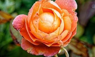9 Rosas Que Llenarán Tu Jardín De Hermosos Aromas