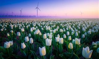 Hermosas Fotografías De Tulipanes Holandeses