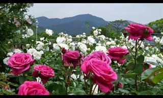 El Hermoso Jardín De Rosas Del Parque Kayoichou, Japón