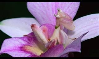 La Mantis Que Se Viste De Orquídea