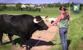 Hombre Francés Rescata Un Toro Como Mascota