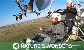 Impresionante: Piloto Vuela Con Una Bandada De Gansos