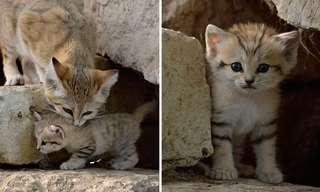 Maravillosas Imágenes Del Gato Del Desierto