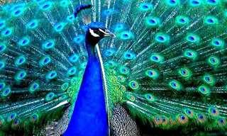 Los Increíbles Colores Del Pavo Real