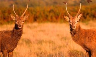 Los Hermosos Ciervos del Parque Richmond De Londres