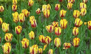 Tulipanes Coloridos Que Realzan La Belleza Del Mundo